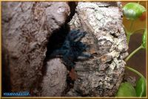 Avicularia_versicolor-01