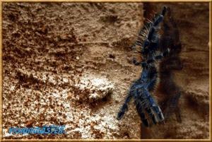 Avicularia_versicolor-03