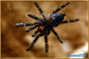 Avicularia_versicolor-04