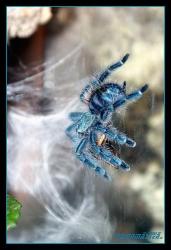 Avicularia_versicolor-09